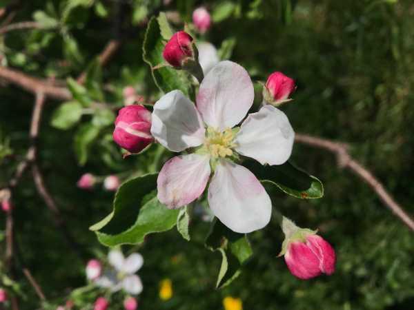 apple blossom on tree